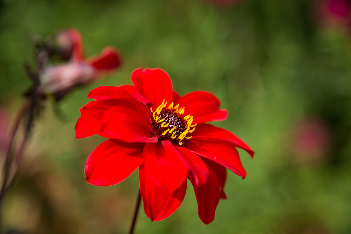 Red Flower in Giverny