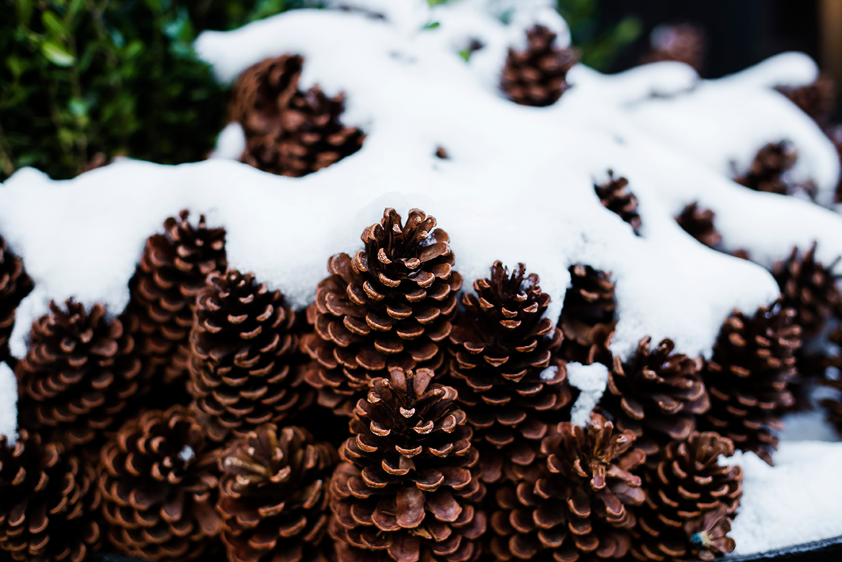 Pinecones snow Photos of Winter in New York City february 2015