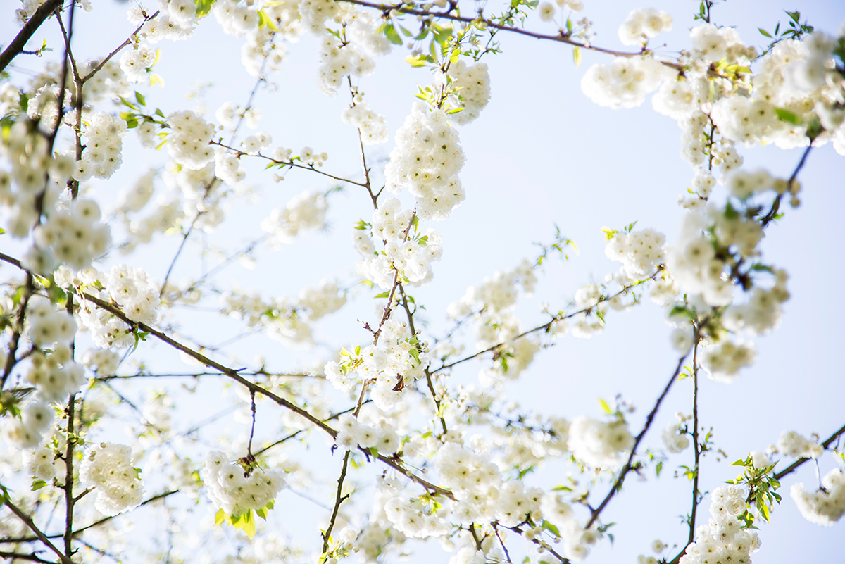 Photos of Sakura Trees White Cherry Blossoms in Paris by Ambitieuse