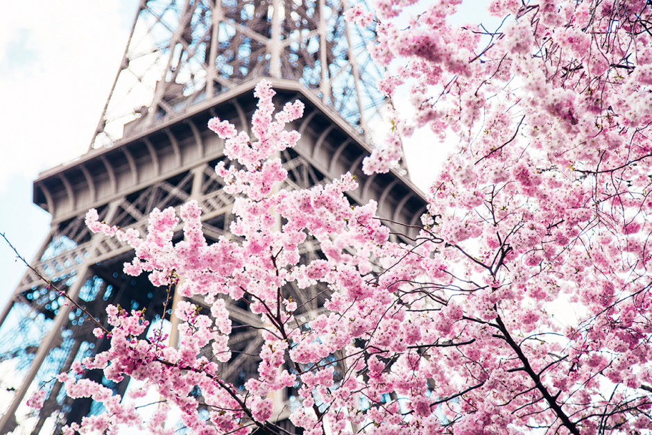 Photos of Sakura Trees Pink Cherry Blossoms and Eiffel Tower in Champ de Mars Paris by Ambitieuse