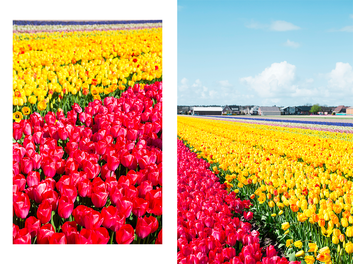 Tulip Fields Weekend Travel Guide to Rotterdam and the Tulip Fields